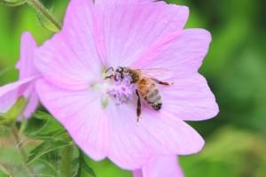 Kopie (2) von Biene1