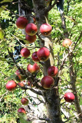 großer Apfel- und Apfelbaumverkauf